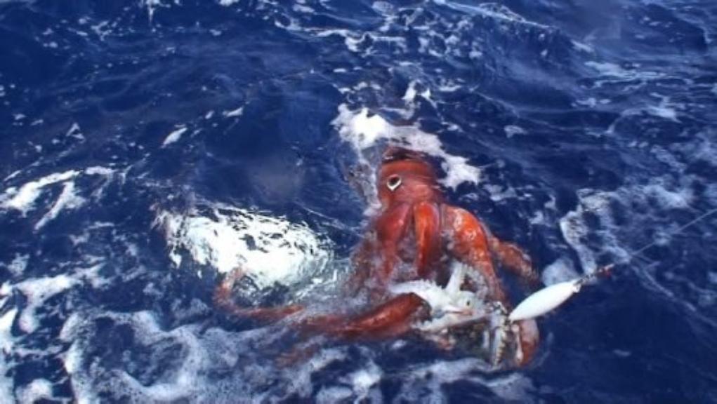 kalamari kraken