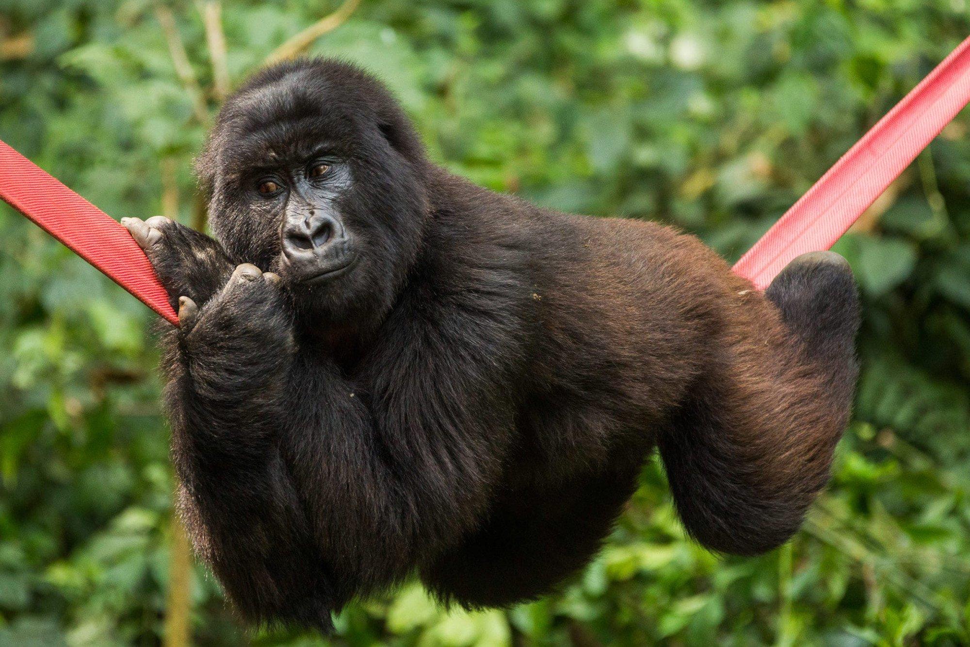 gorilas 1